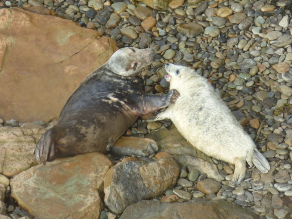 Grey Seal pup with adult