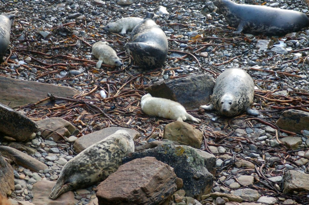 Grey Seals and pups