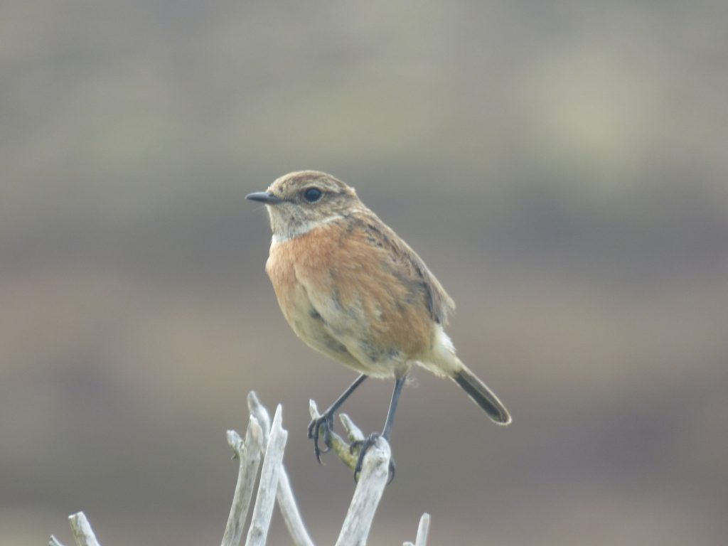 Female Stonechat perched